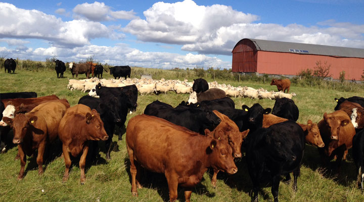 Why Its Important Cattle