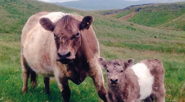 neil-heseltine-cow-calf