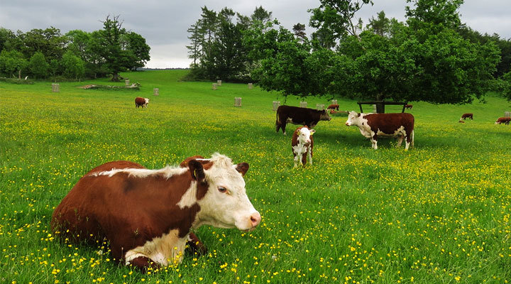 cattle-lying-in-pasture